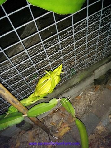 Dragonfruit 160417 (3)