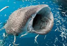 Ikan Terbesar Di Dunia Saat ini, Hiu Paus !