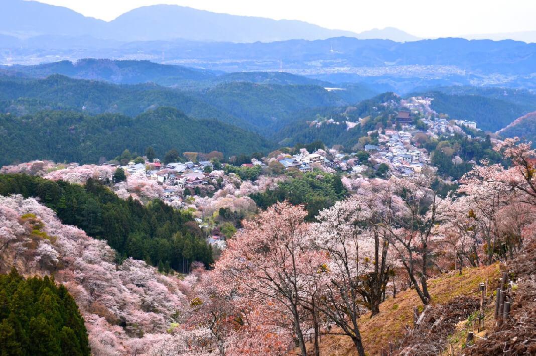 Gunung Yoshinoyama, Tempat Terbaik Melihat Bunga Sakura Bermekaran