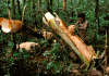 Sagu sebagai makanan Khas Papua
