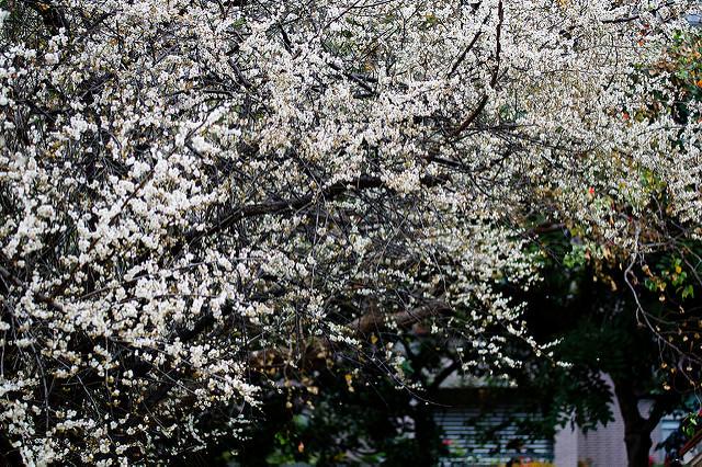 [遊記] 不用上山下海也能輕鬆賞梅花 – 士林志成公園
