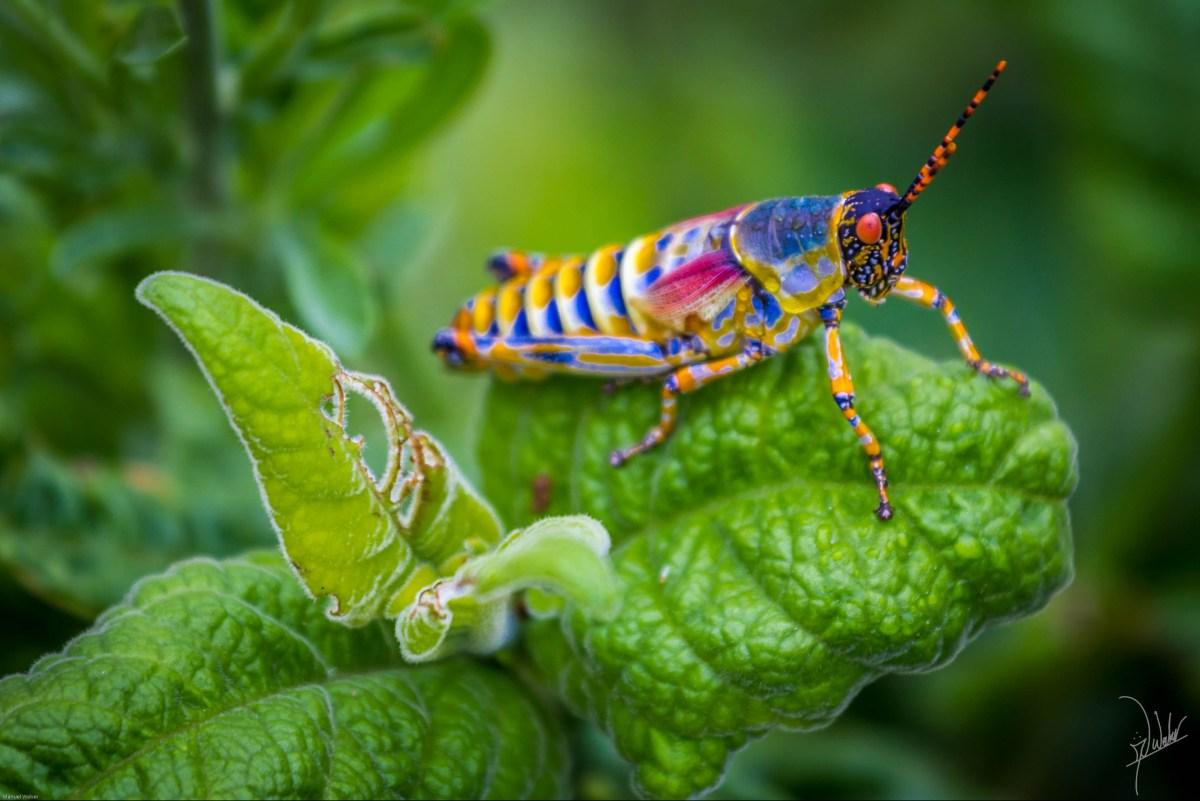 Elegant Grasshoper - Bhejane Gobandlovu Camp