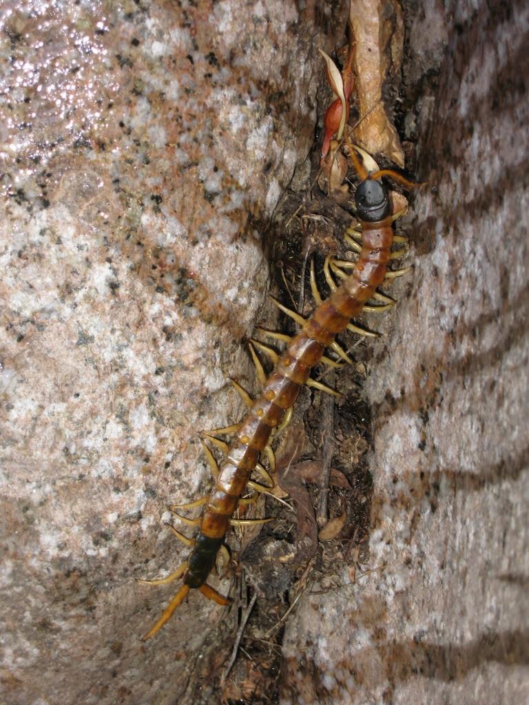 salome jug centipede