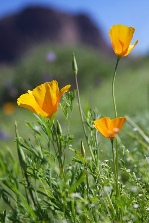 California poppies welcome spring to the desert