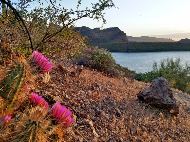 Cactus blooms along the Butcher Jones Trail at Saguaro Lake