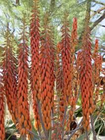 Arabian Aloe
