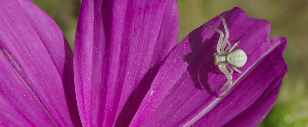 Photo of crab spider on pink cosmos
