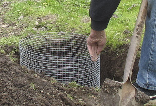Man placing wire basket in plantingg hole.