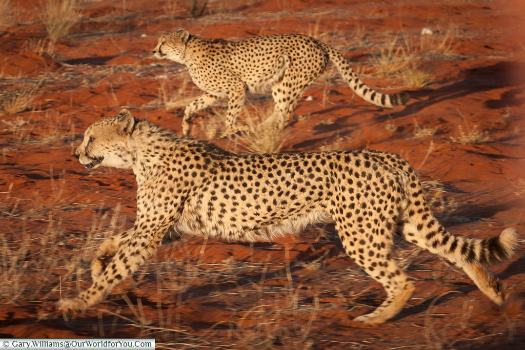 Cheetahs in flight, Bagatelle Kalahari Game Ranch, Namibia