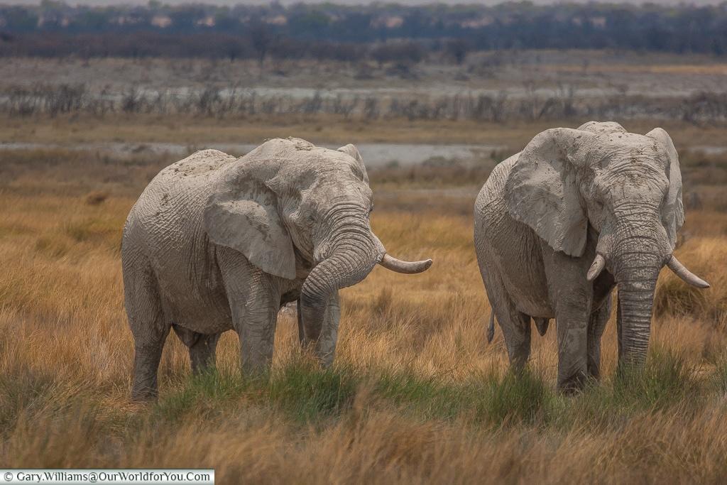 A pair of bull elephants, Etosha, Namibia