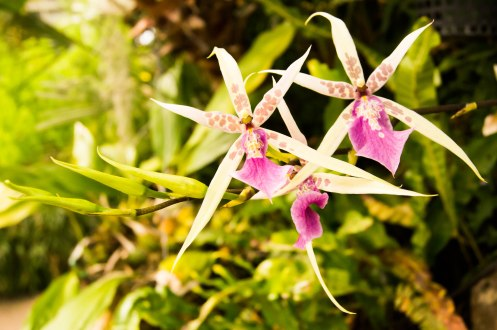 Orchid, The Wintergarden, Auckland Domain