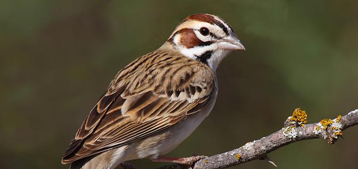 Lark-Sparrow2[1]