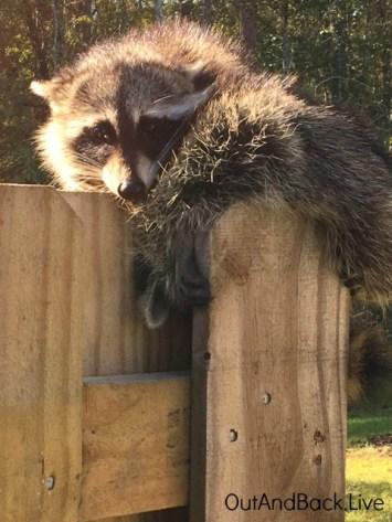 raccoon3e