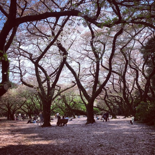 Cherry Blossoms in Tokyo's National Park