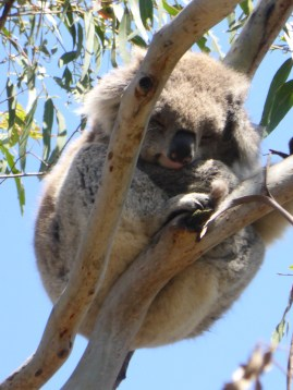 Koalas sleep 16-18 hours a day. It's tough being a Koala.