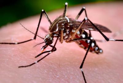 Aedes aegypti / CDC