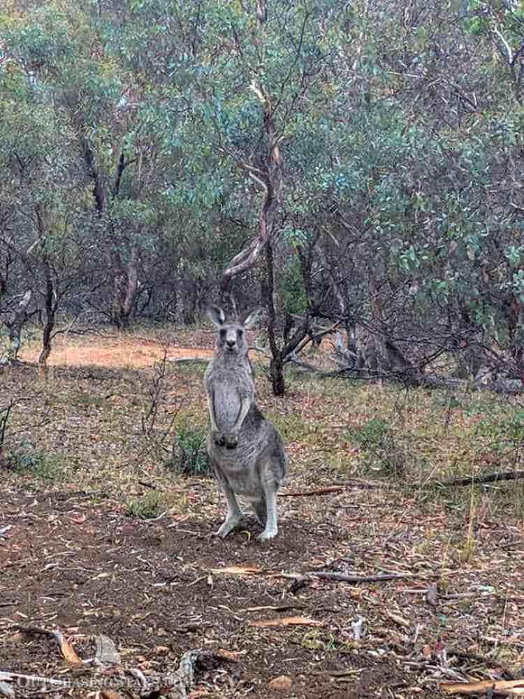 Kangaroos in Canberra's Mount Ainslie Nature Reserve.