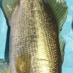 モリくん バス釣り 釣果 #ノーシンカー #senko #センコー #釣り #バス釣り  #アウトドア #bass #bassfishing #outdoor #outdoors #fishing