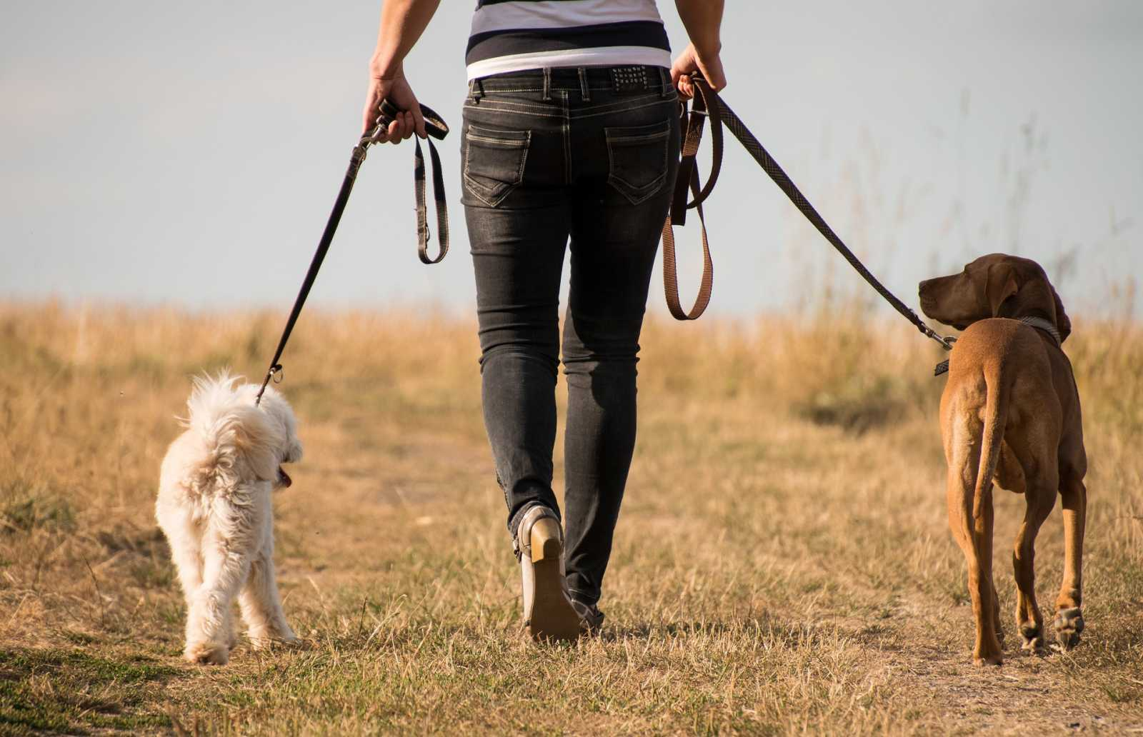 Dogs walk with a person through a field