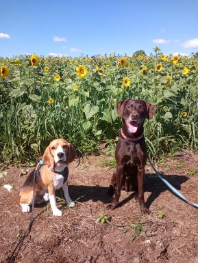 Two dogs sit together at a sunflower field