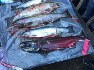 Picture of salmon carcasses