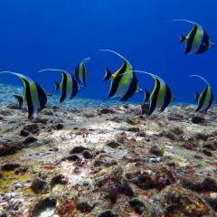 Shoal of Angel Fish