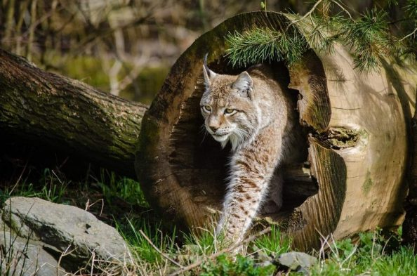 bobcat trapping tips