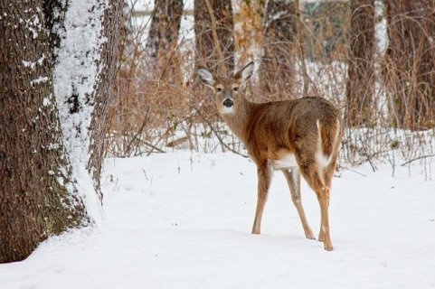 what do white tailed deer eat