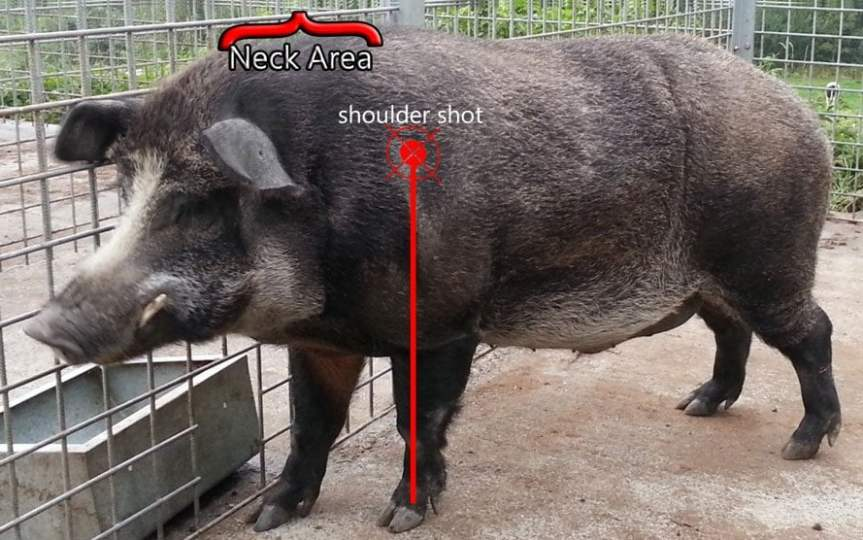 Where To Shoot A Hog For A Clean And Humane Kill Outdoorever