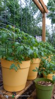 Tomatoes looking great