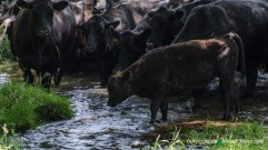 moo cows in the stream