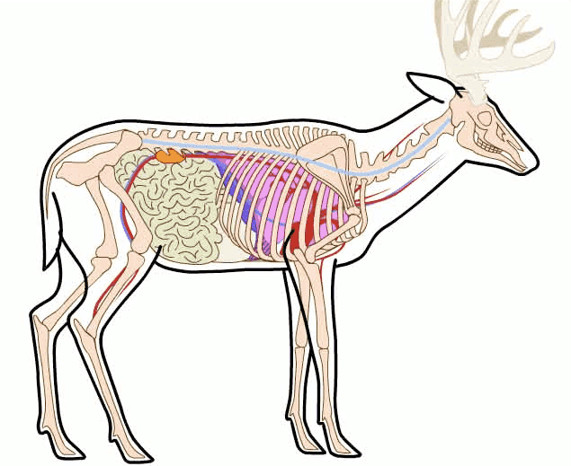 Diagram of deer vital organs wire data deer vital chart timiz conceptzmusic co rh timiz conceptzmusic co deer vital area deer vital zone ccuart Images