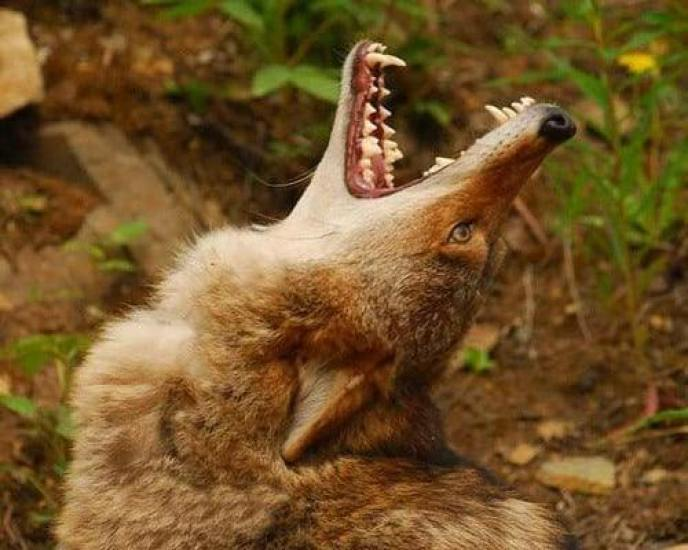 what does it mean when coyotes howl alone or together (1)
