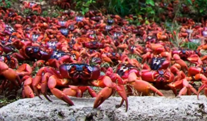 annual crab migration on christmas island picture of