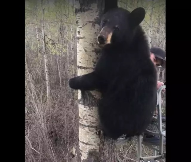 Video 14 Year Old Keeps His Cool After Black Bear Joins Him In The Treestand