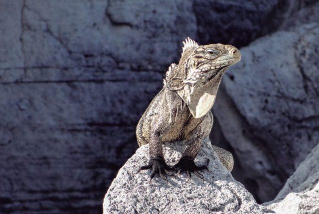 Las Iguanas gigantes, reyes y señores de enorme mayoría de los islotes.