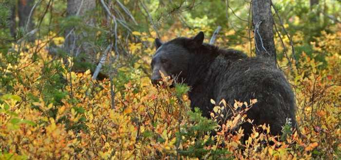 Grand_Tetons_black_bear
