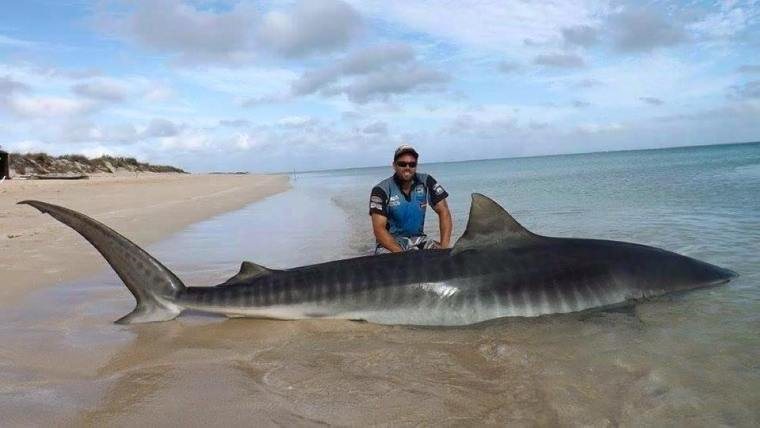 tiger-shark-from-Rogue-Offshore