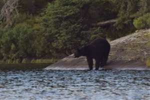 Black Bear at waters edge