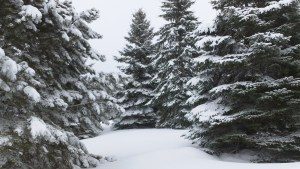 Spruce Trees in Snow