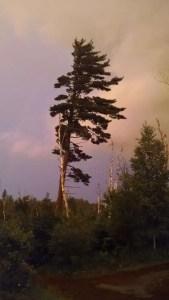 Lone White Pine North Shore