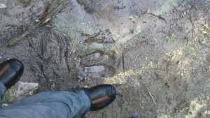 Moose Print in the Mud BWCA