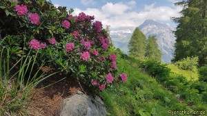 Alpenrosen - Almrausch