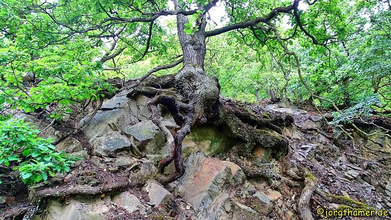 Baum auf Fels am Edersee