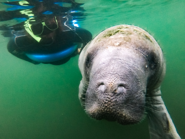 swimming with manatees in florida