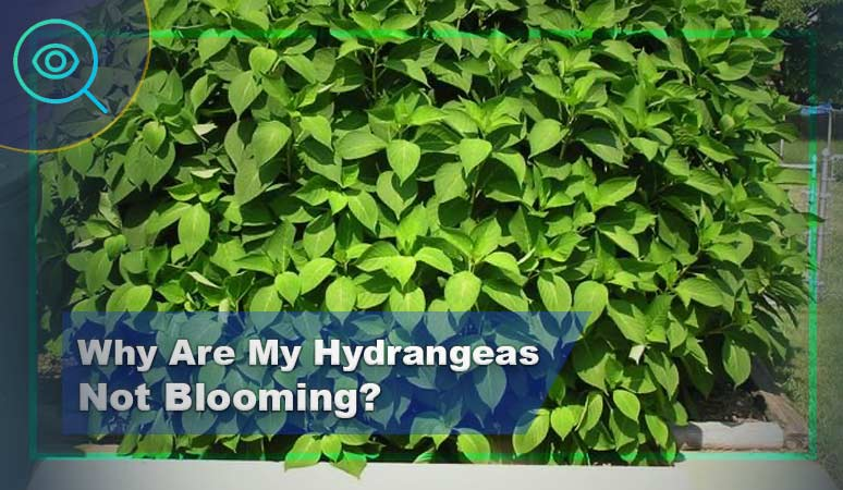 Why-Are-My-Hydrangeas-Not-Blooming