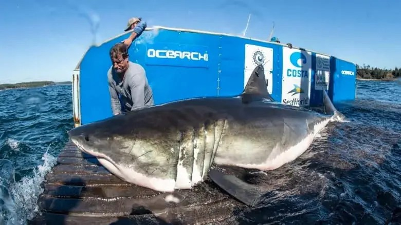 Hal the Great White Shark being tagged off Nova Scotia. Photo, OCEARCH