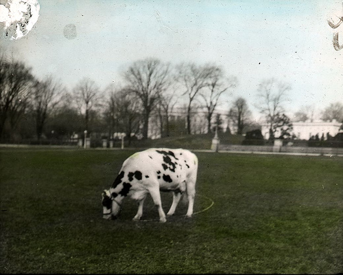 c051eabb6f02d ... pet of President William Howard Taft and is seen here grazing on the  south lawn of the White House. She supplied the Taft family with fresh milk  daily.