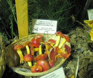 Mushrooms are the main attraction all weekend long at the Santa Cruz Fungus Fair (photo: E. Loury)
