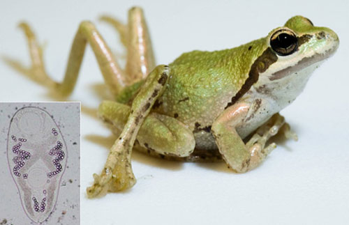 the decrease of the frog population caused by parasites Read this science essay and over 88,000 other research documents the cause of frog mutation and population decline it is easy person to point their finger at big industrial and chemical plants and blame them for the cause.